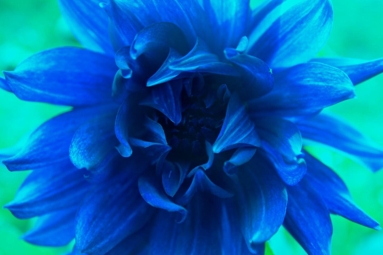 IMG_7777 - bursting blue pion !!!!!